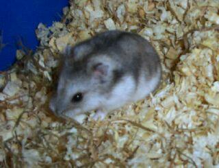 Hamster DJ