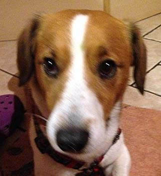 glocksin-beagledackeljrt-diavorn