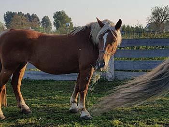 pferd-hellfuchs-stere