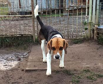sam-beagle16-kommt
